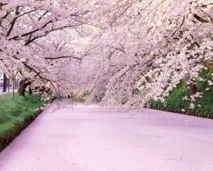 日本一の桜と称される桜と弘前城